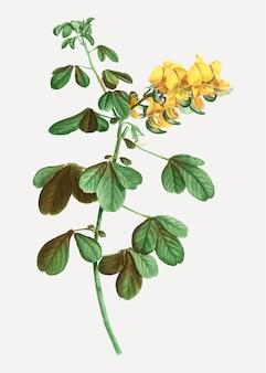 Flores de rattlebox