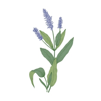 Flores de sálvia ou inflorescências de salva isoladas no fundo branco.