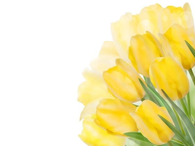 Flores de tulipa da primavera fresca em branco.
