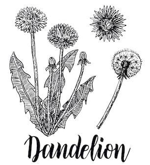 Flores dente de leão, folhas, conjunto desenhado à mão