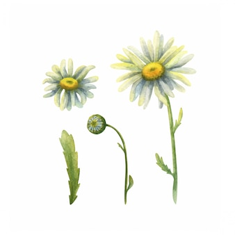 Flores do campo de camomila. conjunto de ilustrações botânicas em aquarela.