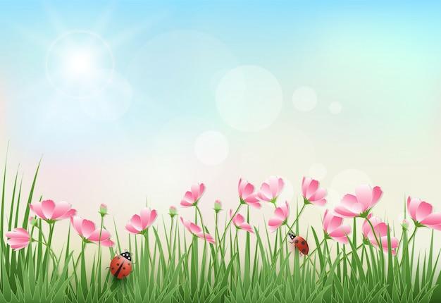 Flores do cosmos e estação de primavera do céu azul