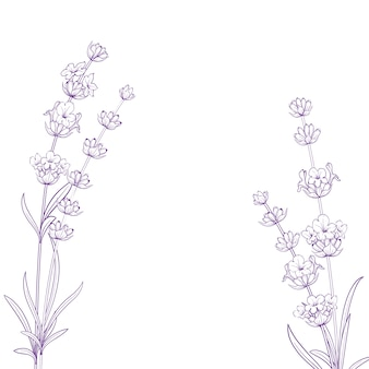 Flores do verão com caligrafia assinam ervas de lavanda. grupo da flor da alfazema isolado sobre o fundo branco.