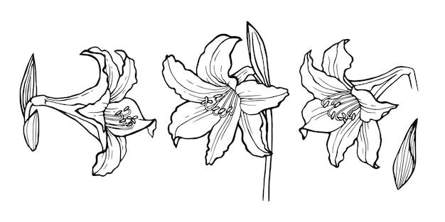 Flores em botão do lírio e detalhes das folhas no gráfico preto.
