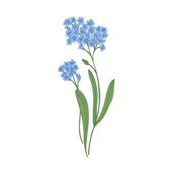 Flores isoladas em um fundo branco. desenho detalhado da planta herbácea perene selvagem.