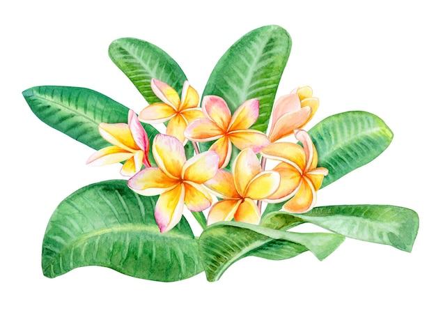 Flores tropicais frangipani plumeria isolado no branco. ilustração em aquarela