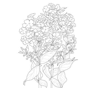 Flox florescendo com folhas para colorir a página do livro