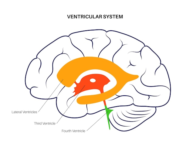 Fluidos cerebroespinhais no cérebro. anatomia do sistema ventricular. ilustração do vetor de ventrículos cerebrais