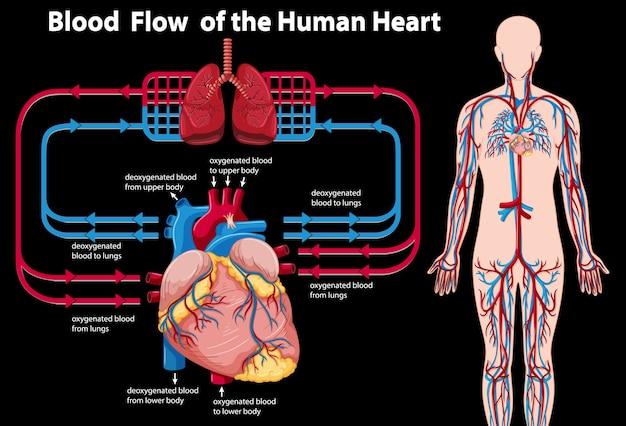 Fluxo de sangue do coração humano