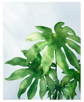 Folha de aralia isolada no fundo branco