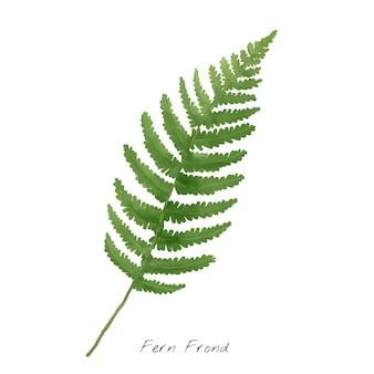Folha de frond samambaia isolada no fundo branco