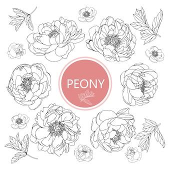 Folha de peônia e desenhos de flores. vintage mão ilustrações botânicas desenhadas.