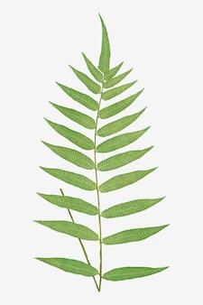Folha de samambaia polypodium fraxinifolium