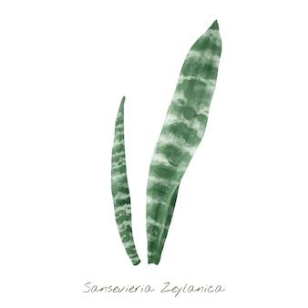 Folha de sansevieria zeylanica isolada no fundo branco