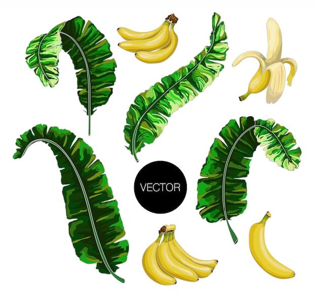 Folhas de bananeira e frutas isoladas. ilustração vetorial