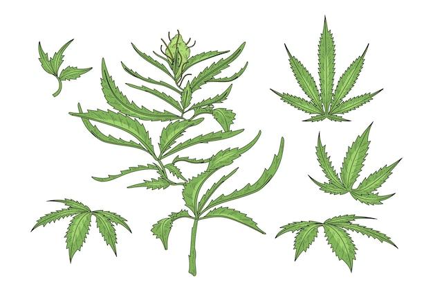 Folhas de cannabis botânicas