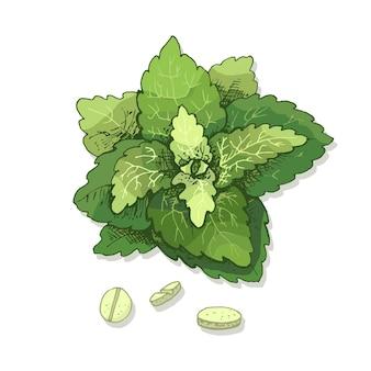 Folhas de estévia e comprimido. ilustração em vetor cor vintage incubação isolada em um fundo branco.