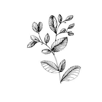 Folhas de eucalipto. flor botânica floral. elemento de ilustração isolado. mão desenhando flores silvestres