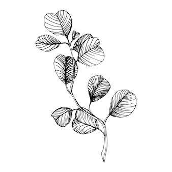 Folhas de eucalipto. flor botânica floral.