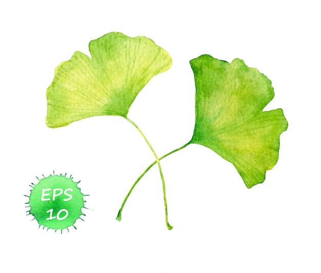 Folhas de ginkgo. vetor de cor de água