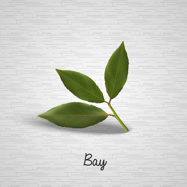 Folhas de louro verde