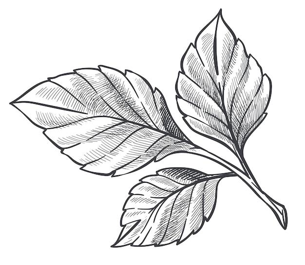 Folhas de morangueiro, flora ou arbustos isolados, arbustos que crescem no jardim ou na floresta. rebento incolor ou folhagem decorativa. contorno de esboço monocromático. ilustração vetorial em estilo simples
