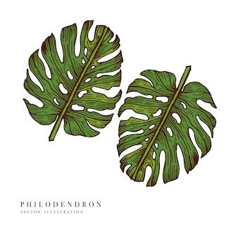 Folhas tropicais - filodendro. ilustração desenhada à mão