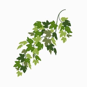 Folhas verdes de videira de uma planta trepadeira