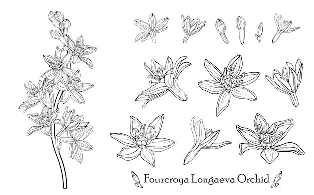 Fourcroya longaeva orchid