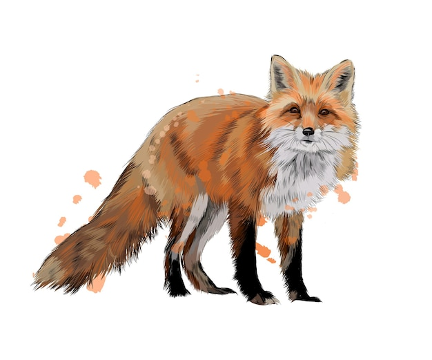 Fox de um toque de aquarela, desenho colorido, realista. ilustração vetorial de tintas