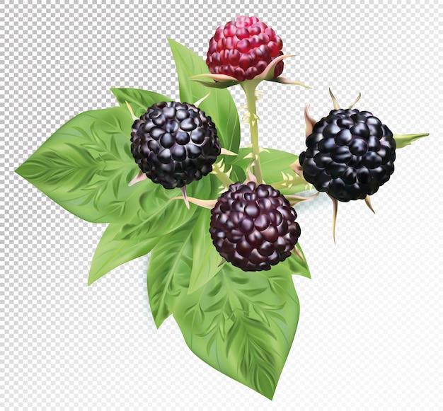 Framboesa preta com folhas no espaço transparente. frutas frescas de framboesa preta são inteiras. ilustração vetorial