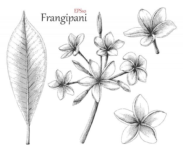 Frangipani mão desenho estilo vintage