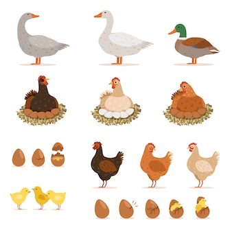 Frango ninhada, patos e outras aves de fazenda e seus ovos.
