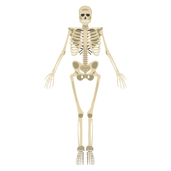 Frente de esqueleto humano isolado