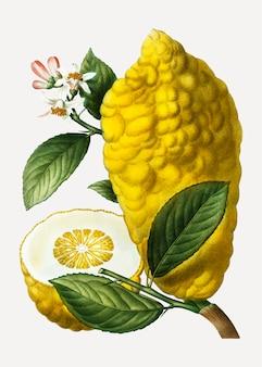 Fruta citron limão