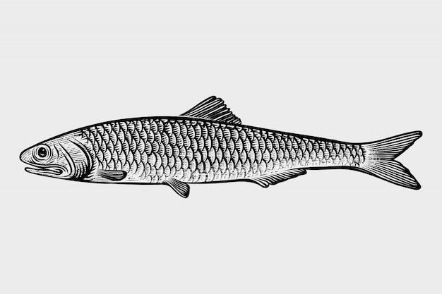 Frutos do mar de sardinha mão desenhada gravura ilustrações de estilo