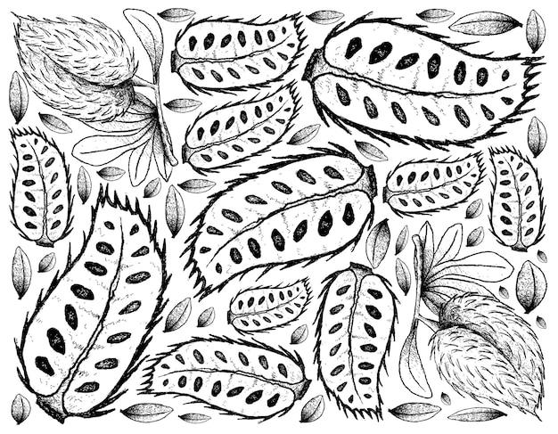 Frutos maduros de graviola desenhados à mão