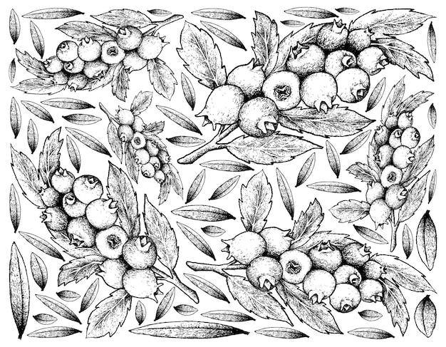 Frutos maduros de mirtilo desenhados à mão