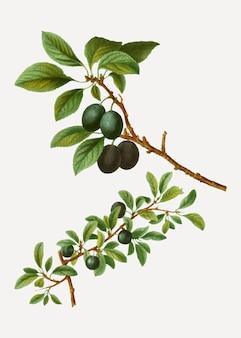 Galho de árvore blackthorn