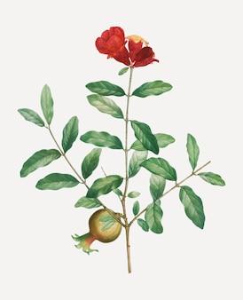 Galho de árvore de romã