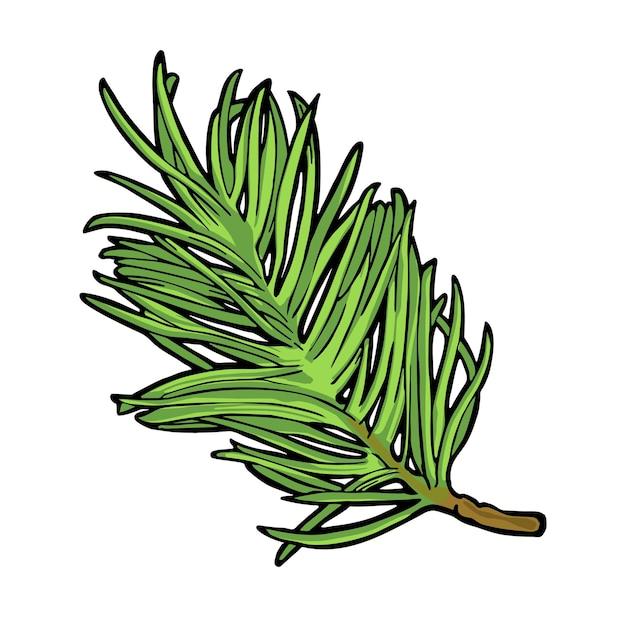 Galho de árvore do abeto. isolado em um fundo branco. ilustração em vetor cor vintage gravura.