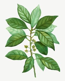 Galho de árvore laurus borbonia