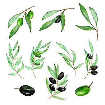Galho de oliveira em aquarela com folhas e azeitonas