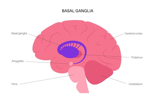 Gânglios da base e sistema límbico. anatomia do cérebro humano. córtex cerebral e vetor cerebelo