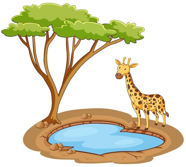 Girafa em pé junto à lagoa em fundo branco