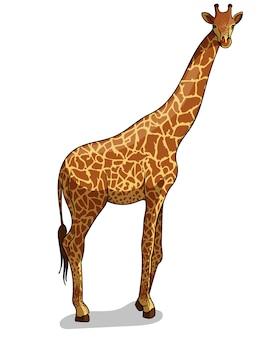 Girafa em pé savana africana isolada em estilo cartoon. ilustração de zoologia educacional, imagens de livro para colorir.