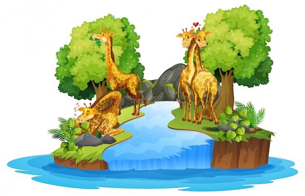 Girafa na natureza isolada