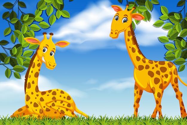 Girafas bonitos na cena madeiras