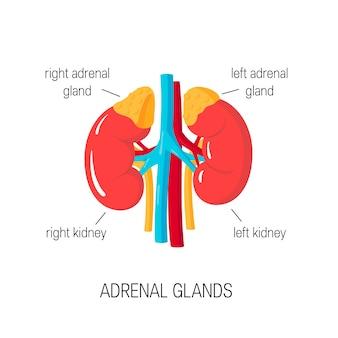 Glândulas adrenais. diagrama médico de órgãos endócrinos