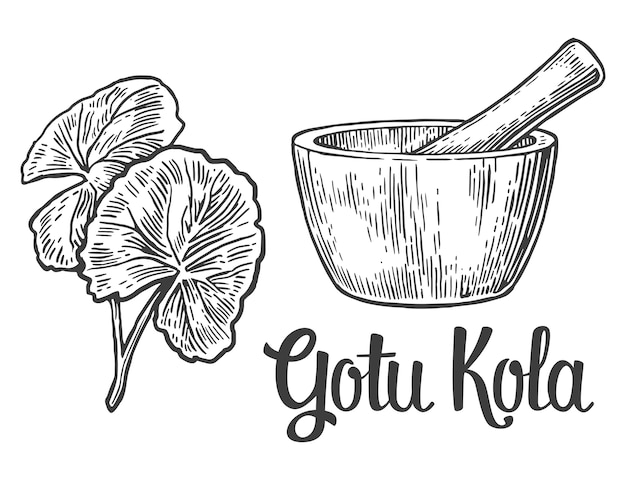 Gotu kola - planta medicinal. ilustração gravada vintage